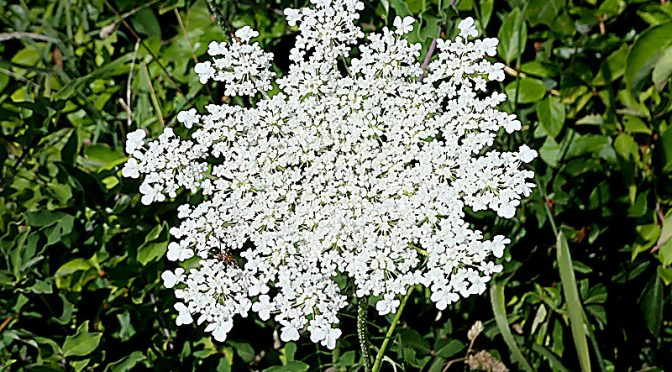 Queen Anne's Lace Is Blooming All Over Cape Cod!