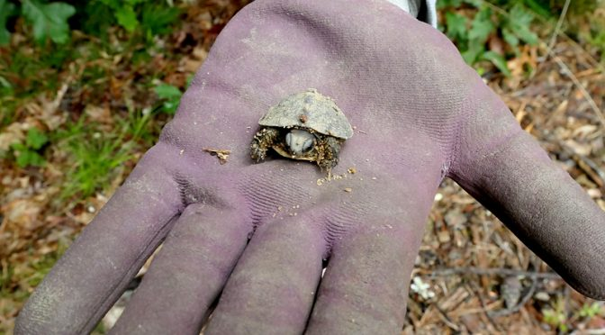 The Box Turtles In Our Yard On Cape Cod Hatched Yesterday!