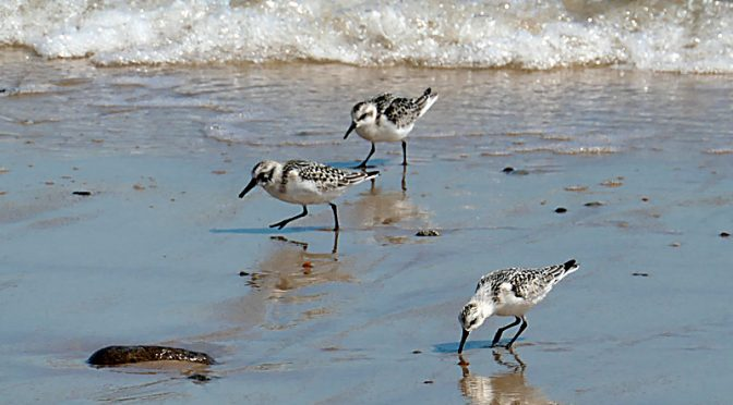 Adorable Sanderlings At Coast Guard Beach On Cape Cod.