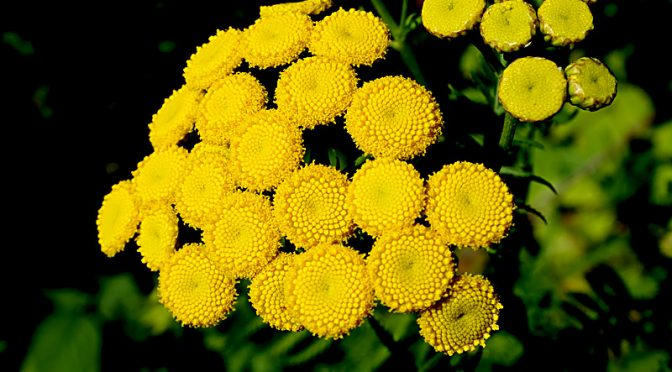 Vibrant, Yellow Common Tansy Wildflower At Fort Hill On Cape Cod.