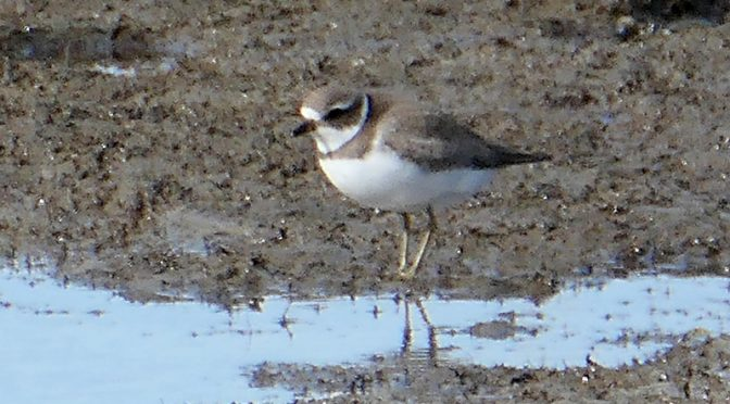 Semipalmated Plovers At Boat Meadow Beach On Cape Cod.