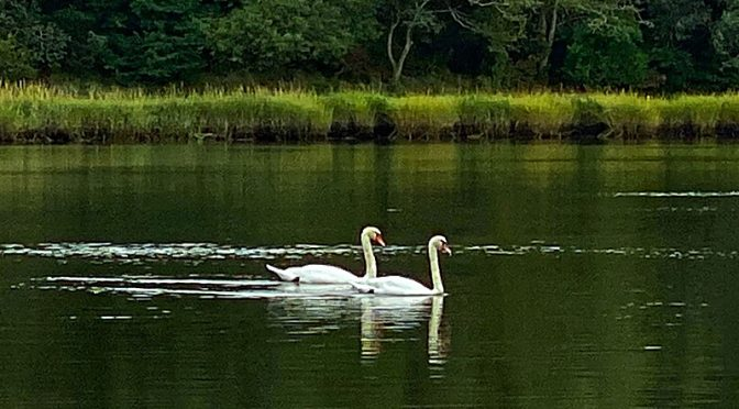 Beautiful Swans At The Salt Pond On Cape Cod.