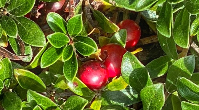 The Berries Of The Bearberry Plants Are Bright Red Now On Cape Cod.