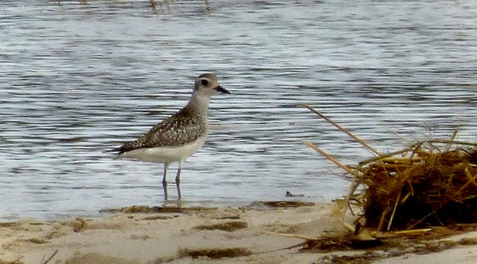 Black-Bellied Plover At Boat Meadow Beach On Cape Cod.