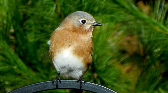 Beautiful Eastern Bluebird In Its Winter Colors Here On Cape Cod.