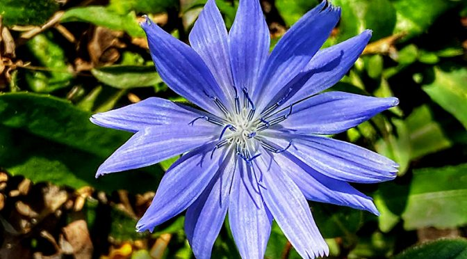 The Blue Chicory Wildflowers Are Still Blooming On Cape Cod!