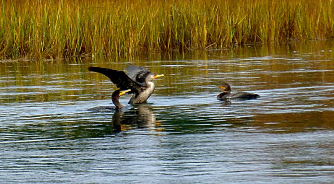 Double-Crested Cormorants At Boat Meadow Creek On Cape Cod.