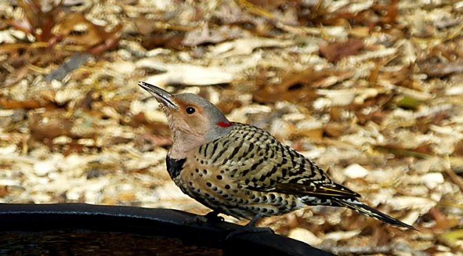 Beautiful Northern Flicker At Our Bird Bath On Cape Cod.