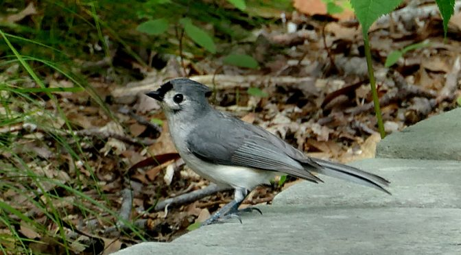 Adorable Tufted Titmouse On The Beech Forest Trail In Provincetown On Cape Cod.