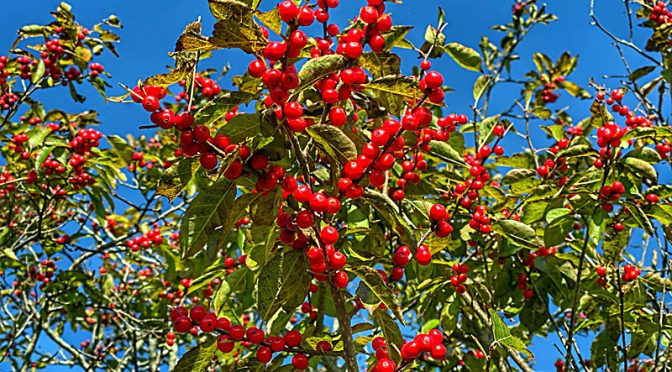 Beautiful Red Winterberries On Cape Cod…Just In Time For The Holidays!