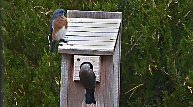 Love The Bluebirds At Our Birdhouse Here On Cape Cod… Will They Stay?