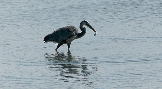 Great Blue Heron Fishing At Nauset Marsh On Cape Cod.