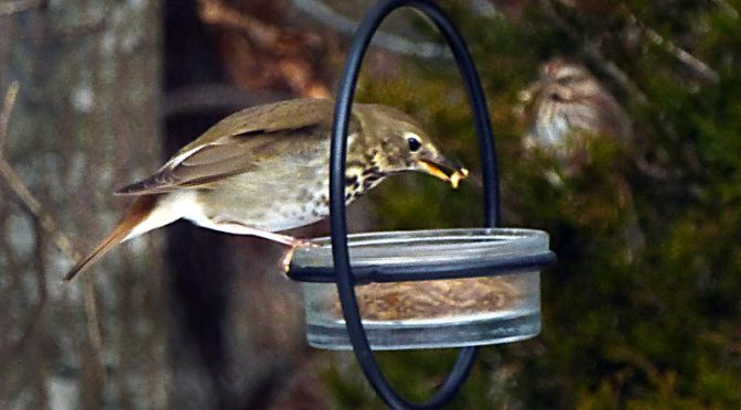 Update On The Hermit Thrush At Our Home On Cape Cod.