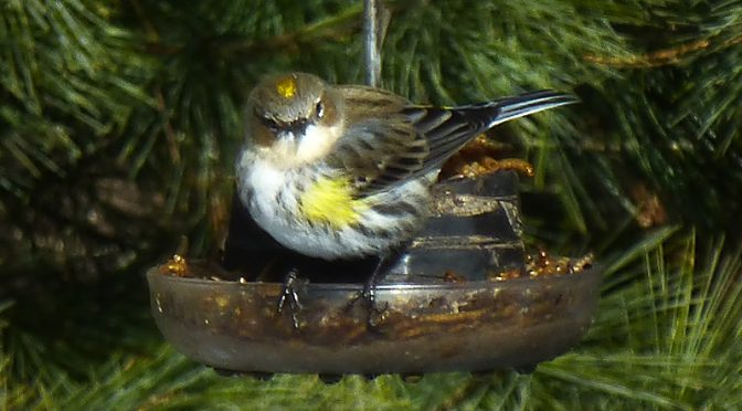 Yellow-Rumped Warbler At Our Feeder On Cape Cod.