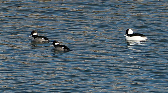 Love The Buffleheads At Rock Harbor On Cape Cod!
