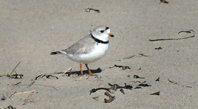 The Piping Plovers Are Back On Coast Guard Beach On Cape Cod!