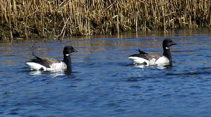 Beautiful Black And White Brants On Cape Cod.