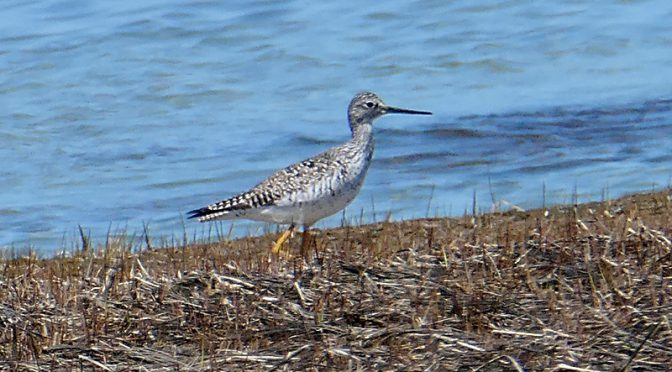 Beautiful Greater Yellowlegs At Low Tide On Cape Cod Bay.