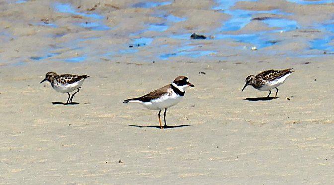 Lots Of Uncommon Shore Birds On Cape Cod Bay!