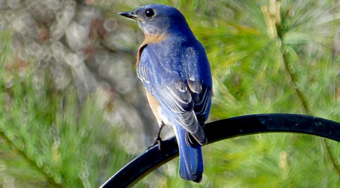 Beautiful Eastern Bluebird In Our Yard On Cape Cod.