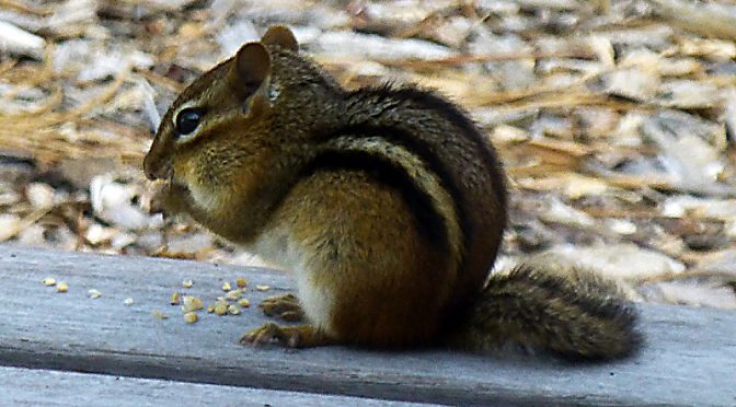 Cute Little Chipmunk Enjoying Lunch On Our Deck On Cape Cod.