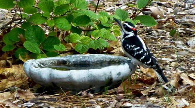 Love The Hairy Woodpecker At Our Little Bird Bath On Cape Cod.