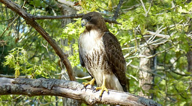 Gorgeous Red-Tailed Hawk In Our Yard On Cape Cod.