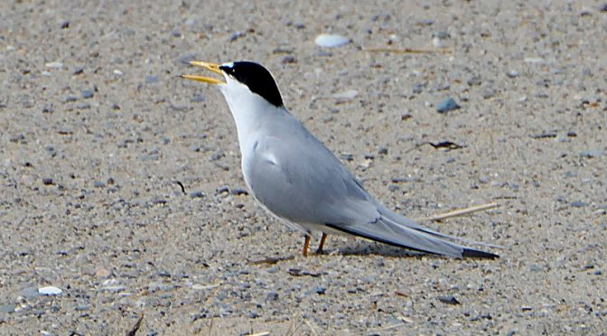 Least Terns Are Back At Coast Guard Beach On Cape Cod.