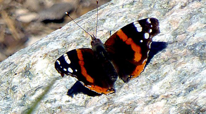 Beautiful Red Admiral Butterfly In Our Yard On Cape Cod.