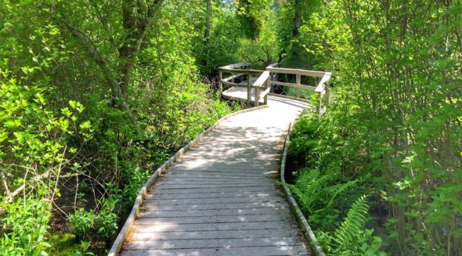 The Boardwalk On The Red Maple Swamp Trail On Cape Cod.