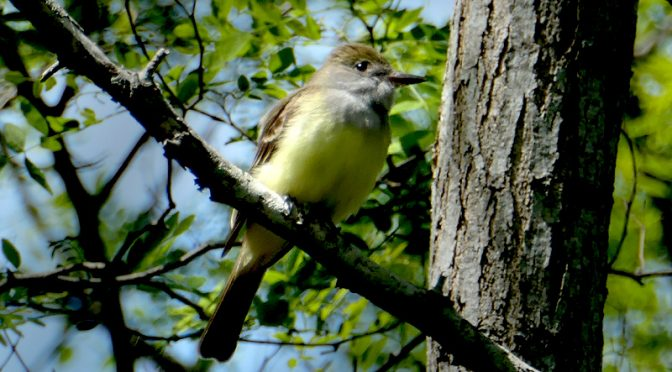 Elusive Great Crested Flycatcher In Our Yard On Cape Cod.