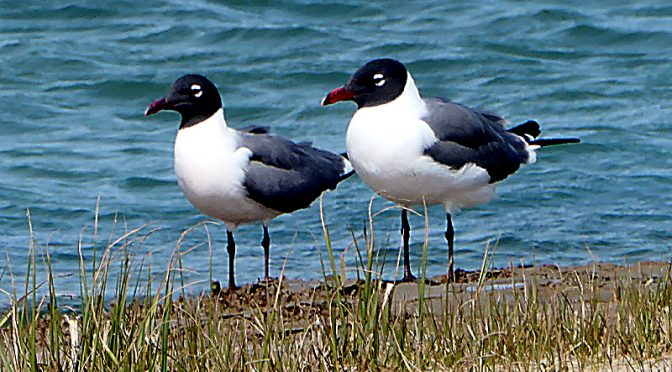 Laughing Gulls Enjoying A Day On A Cape Cod Beach!