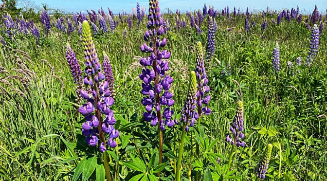 The Lupine Are Gorgeous At Fort Hill On Cape Cod!
