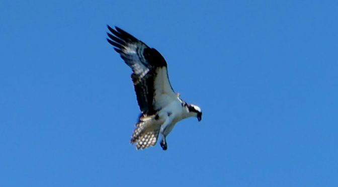 Osprey Ready To Dive On Cape Cod!