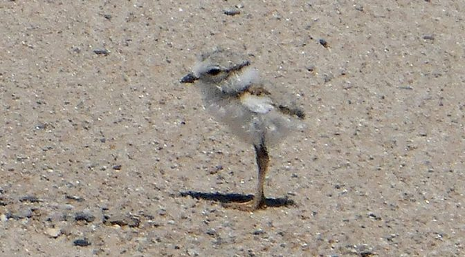 Cute Little Piping Plover Chicks At Coast Guard Beach On Cape Cod.