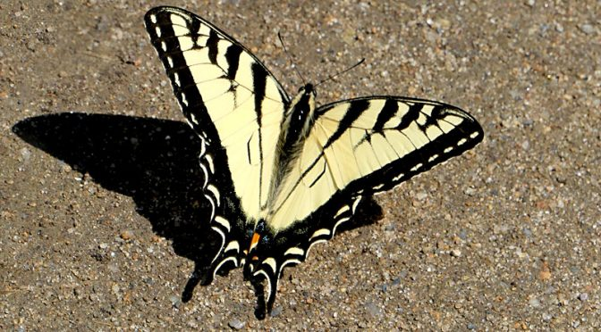 Beautiful Yellow Eastern Tiger Swallowtail Butterfly On Cape Cod.