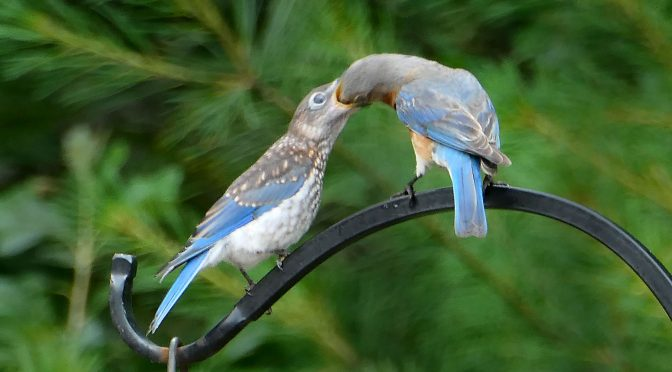 Feeding The Baby Bluebirds At Our Home on Cape Cod!