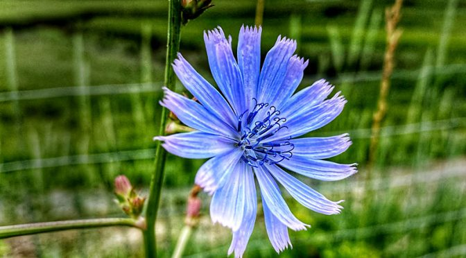 Stunning Blue Chicory Wildflower At The Salt Marsh On Cape Cod.