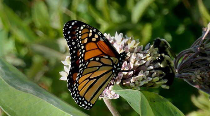 The Monarch Butterflies Are Back On Cape Cod!