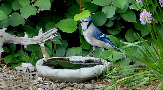 A New Family of Blue Jays In Our Yard On Cape Cod.