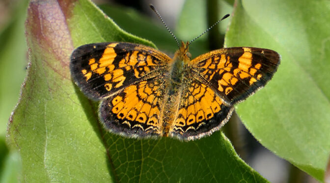 Pretty Pearl Crescent Butterfly In Our Yard On Cape Cod.