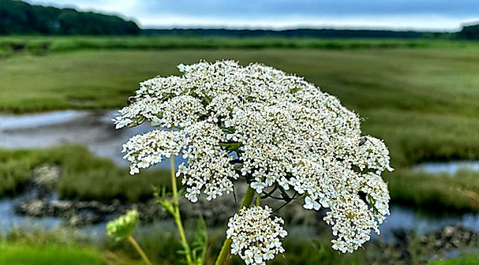 Queen Anne's Lace Wildflowers Are Blooming On Cape Cod.