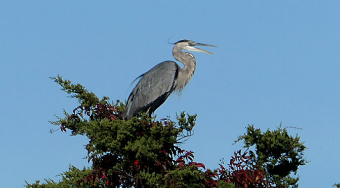 Gorgeous Great Blue Heron High In The Tree At Rock Harbor On Cape Cod.