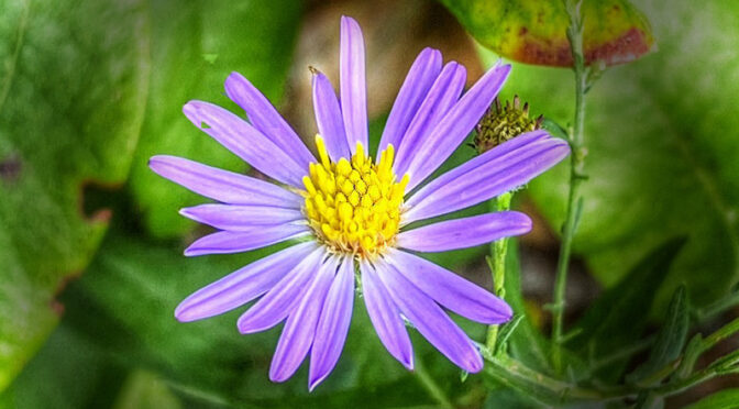 The Purple Asters Are Blooming On Cape Cod.