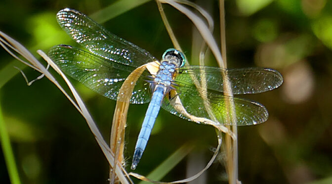 Beautiful Blue Dragonfly On Cape Cod.