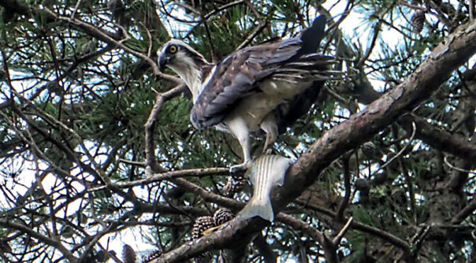 Awesome Osprey Having Breakfast In Our Yard On Cape Cod!