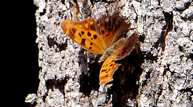 Question Mark Butterfly On Cape Cod.