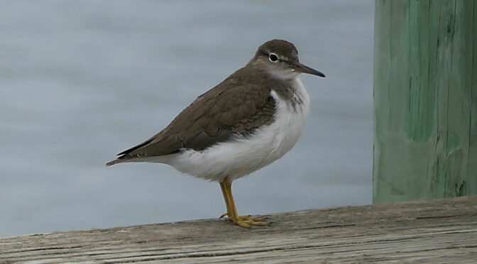 Stunning Little Spotted Sandpiper On Cape Cod.