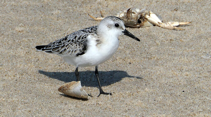 Beautiful Sanderlings At Coast Guard Beach On Cape Cod.