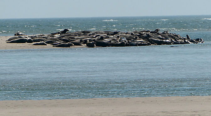 Still Plenty Of Seals At Coast Guard Beach On Cape Cod.